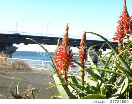 赤い花を咲かせたキダチアロエ 27722860