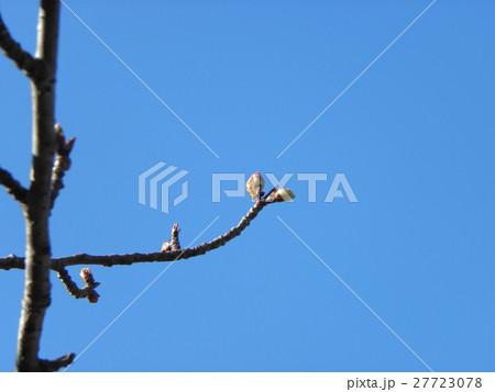 一月の青空に薄緑色のカワヅザクラの蕾 27723078