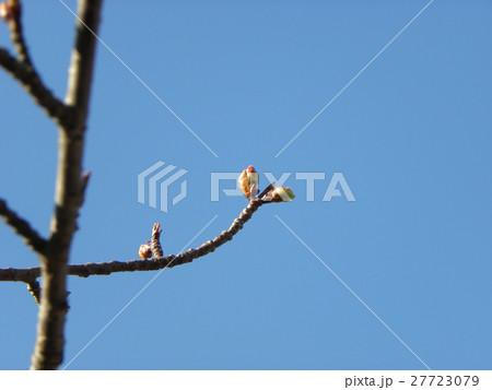 一月の青空に薄緑色のカワヅザクラの蕾 27723079