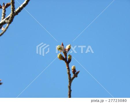 一月の青空に薄緑色のカワヅザクラの蕾 27723080