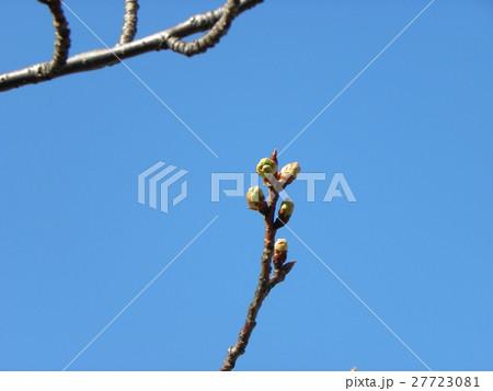 一月の青空に薄緑色のカワヅザクラの蕾 27723081