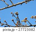 一月の青空に薄緑色のカワヅザクラの蕾 27723082