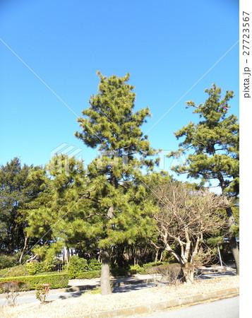 稲毛海岸入り口の黒松の街路樹 27723567