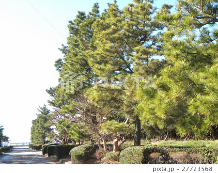 稲毛海岸入り口の黒松の街路樹 27723568