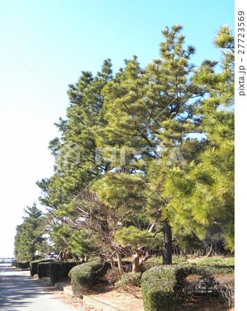 稲毛海岸入り口の黒松の街路樹 27723569