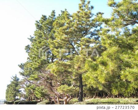 稲毛海岸入り口の黒松の街路樹 27723570