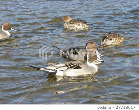 稲毛海浜公園に飛来したオナガガモ 27723617