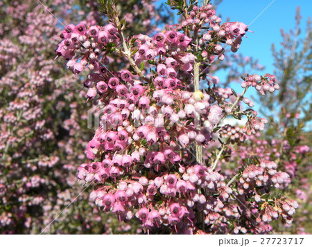 可愛い小さい桃色の花エリカ 27723717