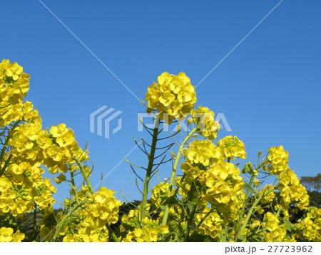 12月に咲き始めた早咲きナバナ満開です 27723962