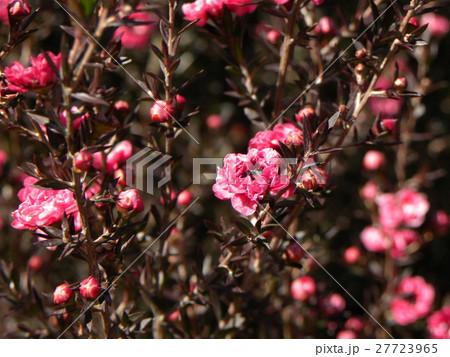 桃色の可愛い花はギョリュウバイ 27723965