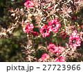 桃色の可愛い花はギョリュウバイ 27723966
