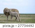 子羊 ひつじ ヒツジの写真 27734492