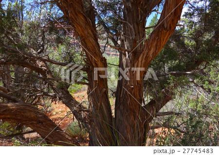セドナのねじれた木  27745483