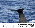 尾びれを上げるマッコウクジラ 小笠原 27772756