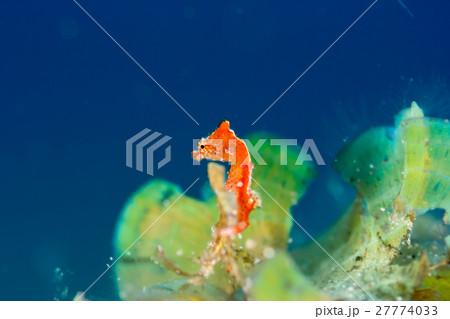 世界最小のタツノオトシゴ ジャパニーズピグミーシーホース 27774033