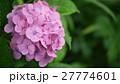 濡れた紫陽花 27774601