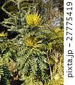 黄色い花はマホニアチャリテイ 27775419