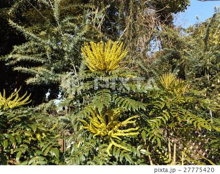 黄色い花はマホニアチャリテイ 27775420