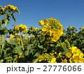 12月に咲き始めた早咲きナバナ満開です 27776066