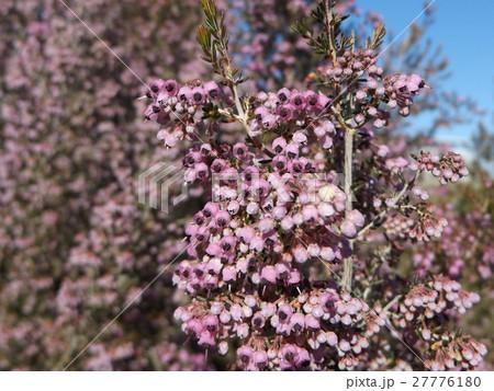 可愛い小さい桃色の花エリカ 27776180