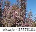 可愛い小さい桃色の花エリカ 27776181