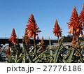赤い花を咲かせたキダチアロエ 27776186