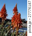赤い花を咲かせたキダチアロエ 27776187