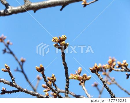 一月の青空に薄緑色のカワヅザクラの蕾 27776281