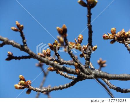 一月の青空に薄緑色のカワヅザクラの蕾 27776283