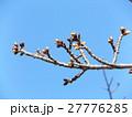 一月の青空に薄緑色のカワヅザクラの蕾 27776285