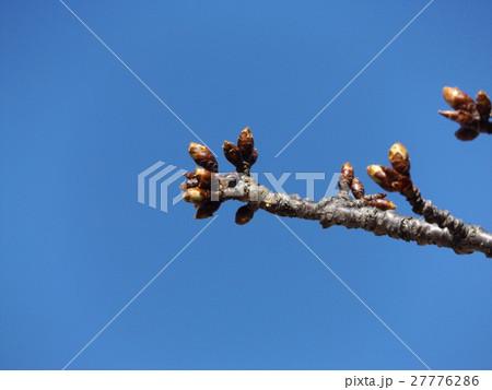 一月の青空に薄緑色のカワヅザクラの蕾 27776286
