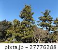 稲毛海岸入り口の黒松の街路樹 27776288