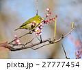 梅とメジロ(N) 27777454