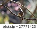 梅の花を背景にしたジョウビタキ♀ 27778423