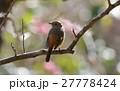 梅の花を背景にしたジョウビタキ♀ 27778424
