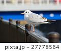 ユリカモメ 鳥 野鳥の写真 27778564