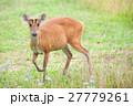 Barking deer in a field of grass in National Park 27779261
