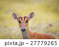 Barking deer in a field of grass in National Park 27779265