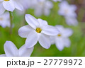 花韮 ハナニラ 花の写真 27779972