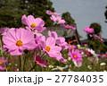 般若寺の秋桜 27784035