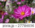 般若寺の秋桜 27784036