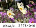 満開の秋桜 27784040