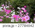 般若寺の秋桜 27784042