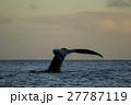 朝焼けの海で尾びれを上げるザトウクジラ 27787119