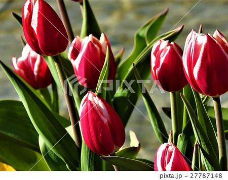 チューリップの花言葉は「博愛」。全ての人を平等に愛する意味で、どんな相手でも贈って喜ばれるはず。 27787148