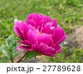 芍薬 ピンク 花の写真 27789628