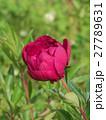 芍薬 ピンク 花の写真 27789631