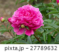 芍薬 ピンク 花の写真 27789632