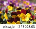 パンジー スミレ 花の写真 27802363