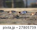 緋鳥鴨 鴨 食べるの写真 27805739